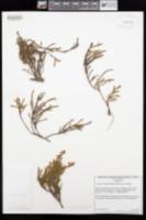 Cassiope mertensiana image