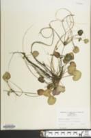 Limnobium spongia image