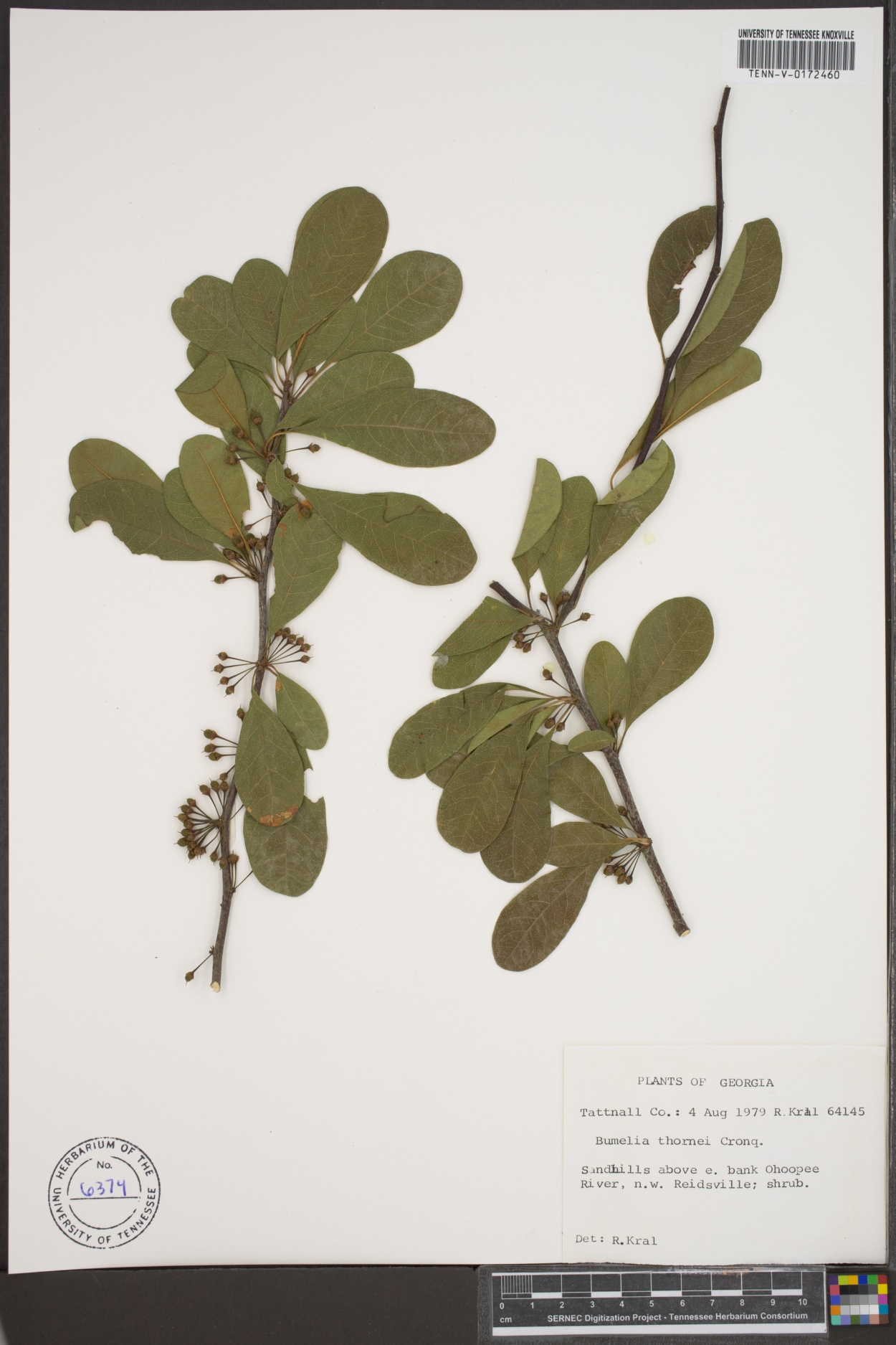 Bumelia thornei image