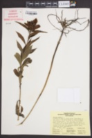 Image of Chelone glabra