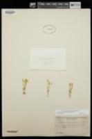 Cicendia quadrangularis image