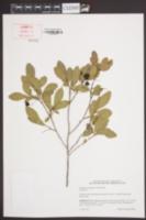 Gaylussacia nana image