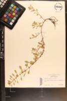 Ludwigia palustris image