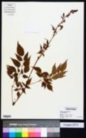 Image of Astilbe macroflora