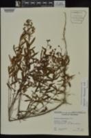 Hypericum lobocarpum image