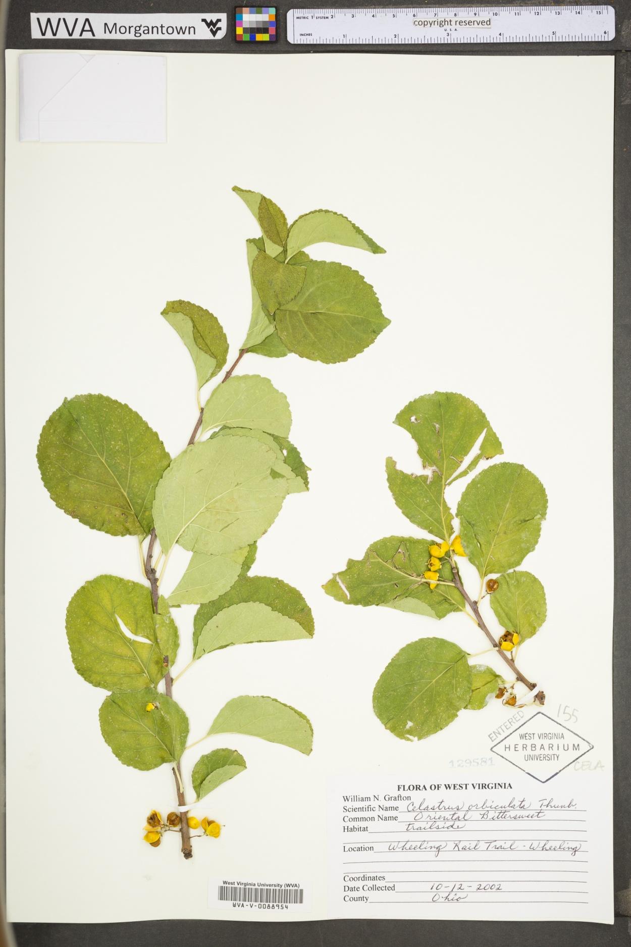Celastrus orbiculata image