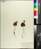 Ranunculus thora image