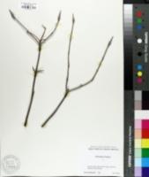 Image of Viburnum lentago