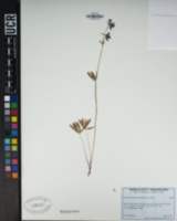 Delphinium nuttallianum image