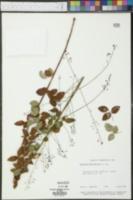 Desmodium marilandicum image