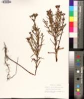 Hypericum sphaerocarpum image