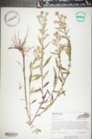 Symphyotrichum ontarione image
