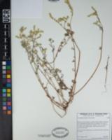 Cryptantha decipiens image