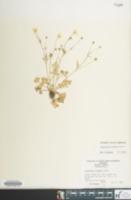 Image of Ranunculus sardous