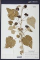 Image of Abutilon hulseanum