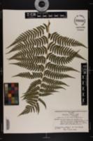 Image of Dryopteris x leedsii