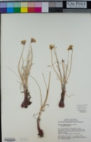 Allium haematochiton image