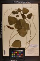 Phaseolus dumosus image