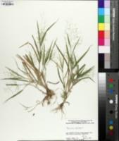 Panicum philadelphicum image