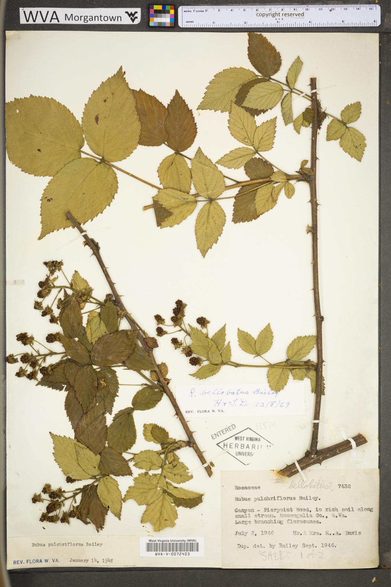 Rubus bellobatus image