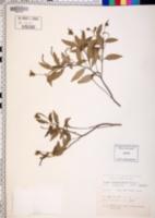 Image of Cordia leucophlyctis