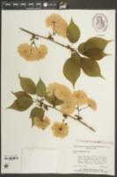 Image of Prunus sieboldii