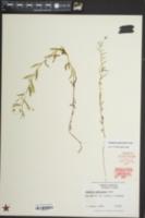 Palustricodon aparinoides image