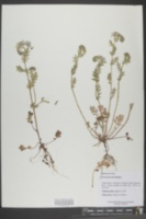 Phacelia purshii image
