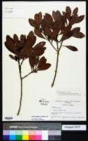 Morella inodora image