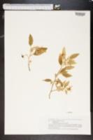 Image of Solanum lidii