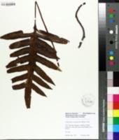 Image of Polypodium scolopendrium