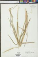 Image of Setaria almaspicata