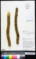 Parkinsonia praecox image