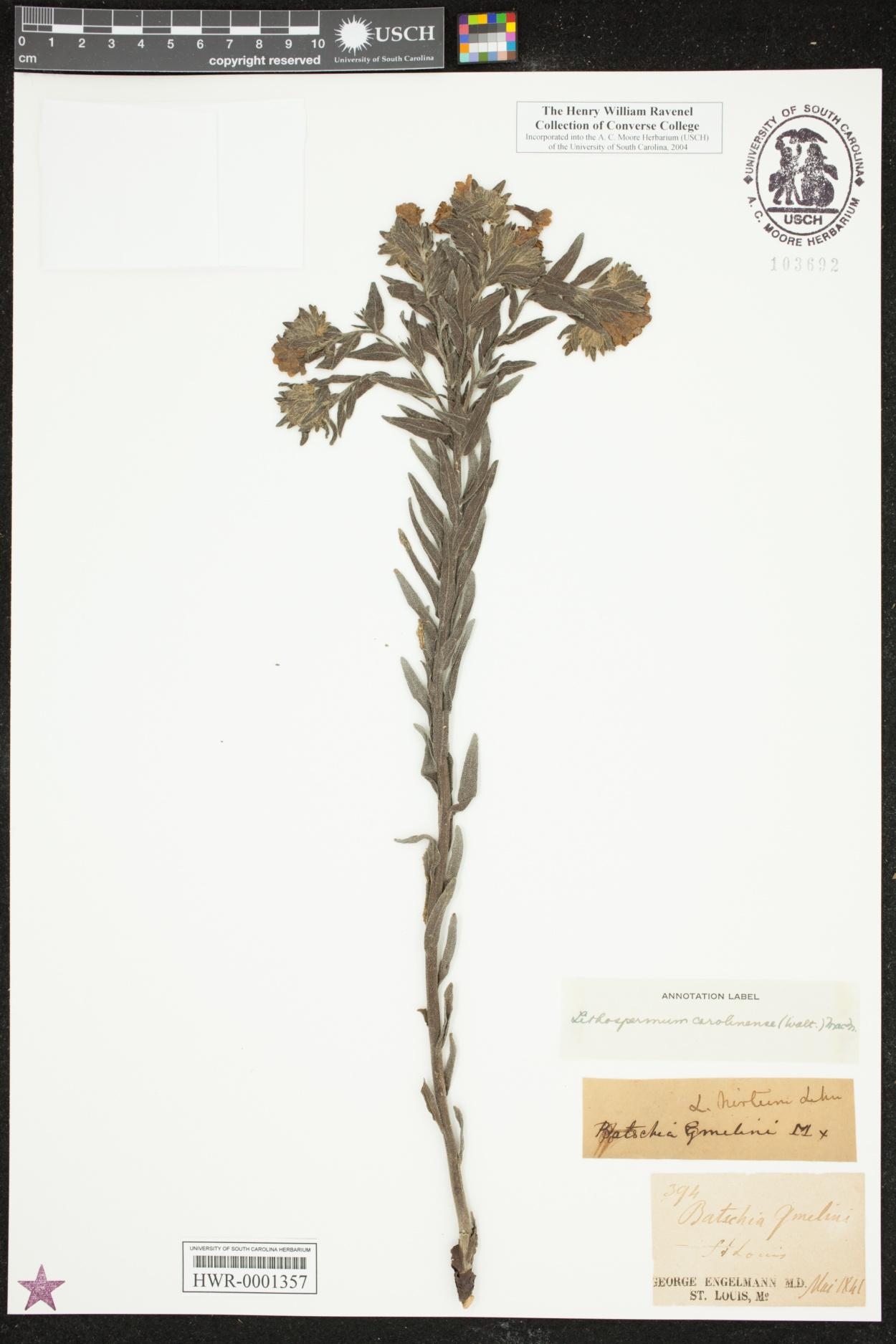 Lithospermum caroliniense