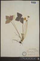 Hepatica acutiloba image