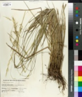 Image of Stipa dregeana