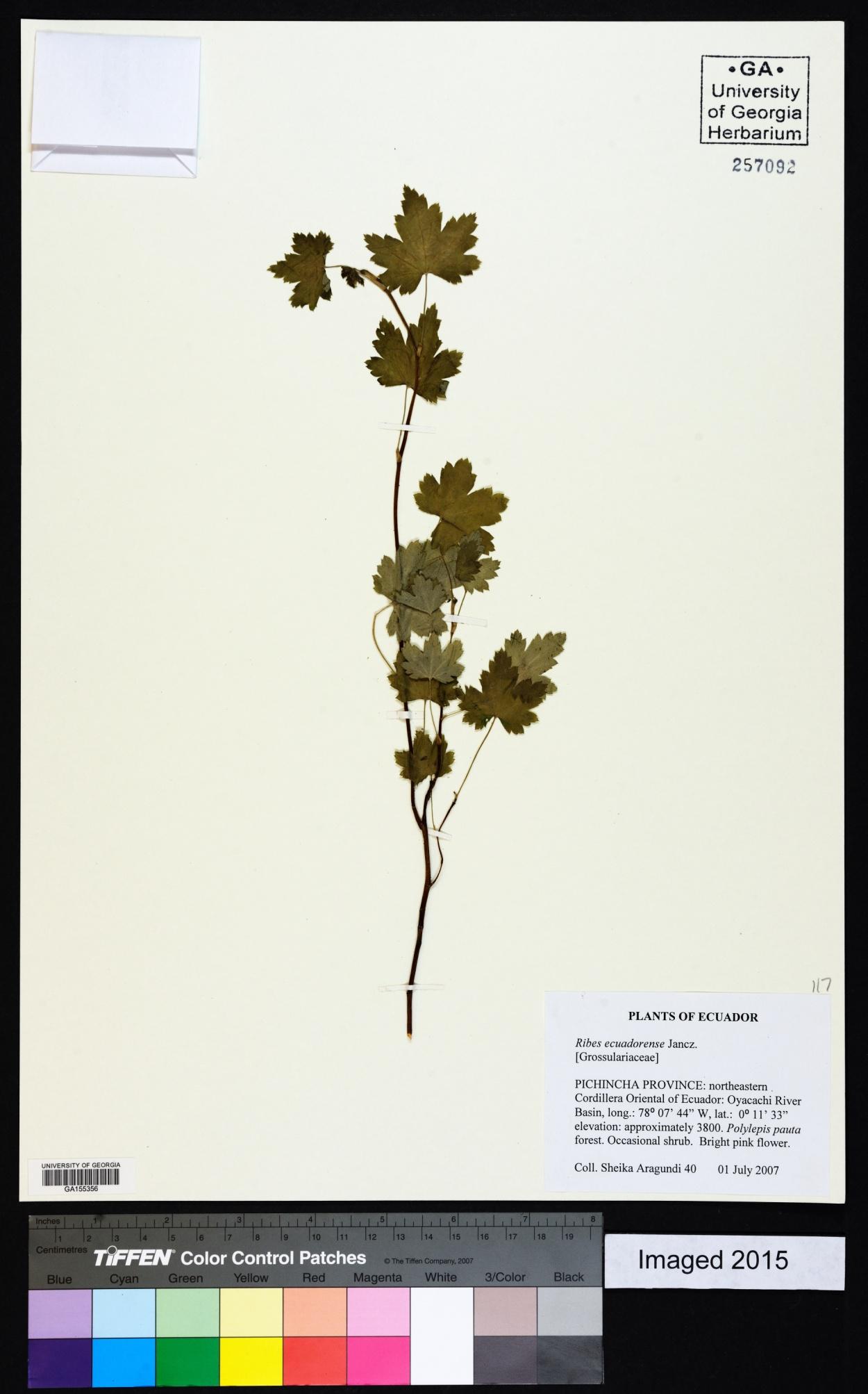 Ribes ecuadorense image