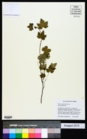 Image of Ribes ecuadorense
