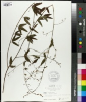 Hylodesmum nudiflorum image