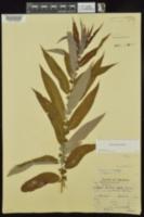 Salix caroliniana image