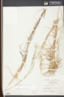 Andropogon virginicus image
