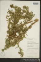 Image of Helenium microcephalum