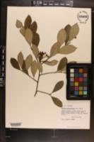 Photinia pyrifolia image