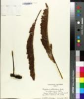 Image of Polypodium pellucidum