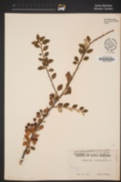 Image of Cotoneaster acuminatus
