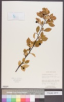 Image of Cotoneaster ambiguus
