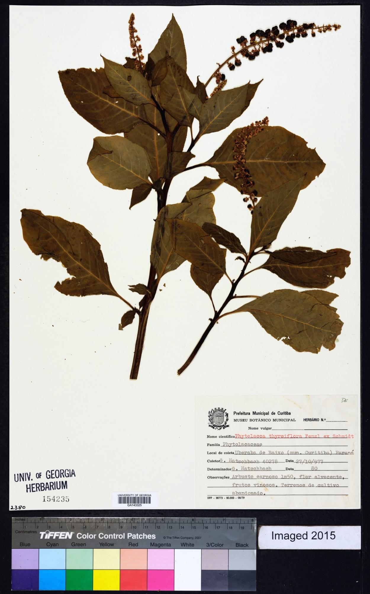 Phytolacca thyrsiflora image