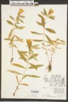 Gentiana saponaria image