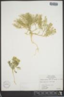 Lepidium montanum var. glabrum image