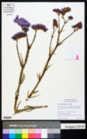 Limonium sinuatum image